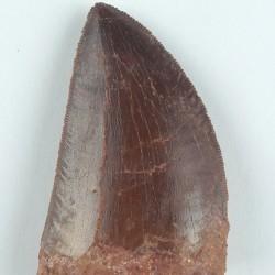 Saharius Carcharodontosaurus Tooth