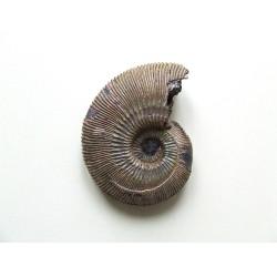 Ammonite : Cosmoceras