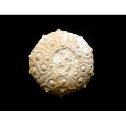 Sea urchin : Cidaris