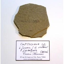 Insecte : Coptoclava