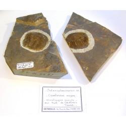Solenopleuropsis
