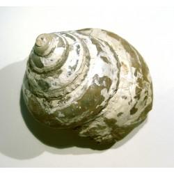 Gastropod : PLEUROTOMARIA